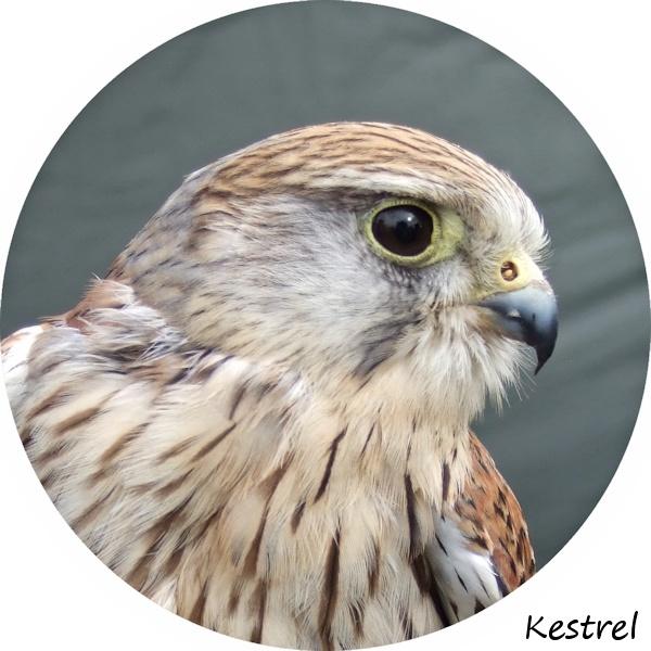 Young Kestrel by peterkin