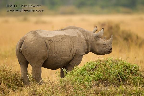 Black Rhino by MikeDowsett