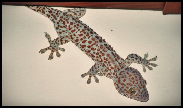 Gekko gecko by bangma