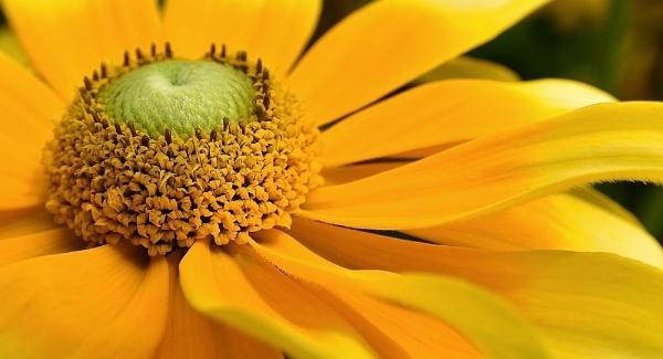 Sunshine Daisy by 1nikongirl