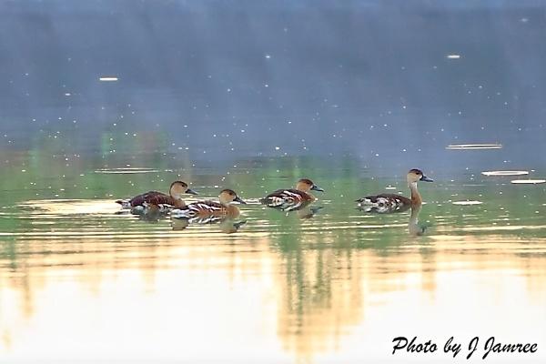 Wild ducks in drizzle by JJamree