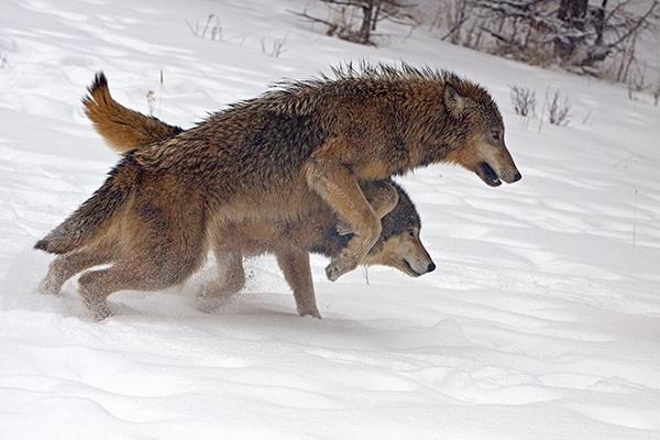 Wolves running  through snow by hibbz