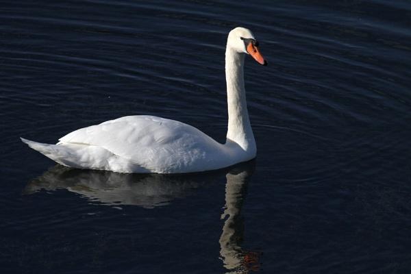 Swan in evening light by czech