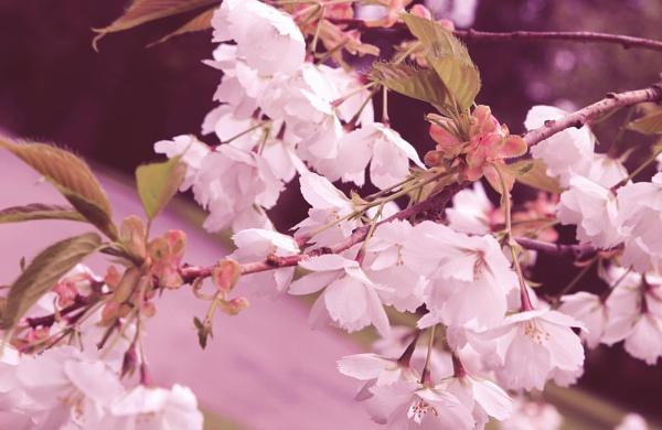 Blossom Haze by Clarabinks