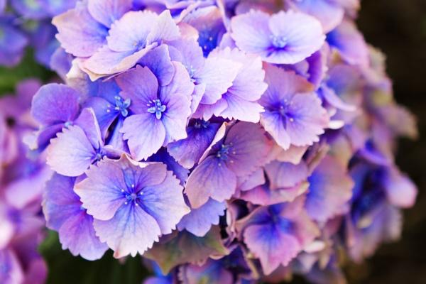 Lilac Hydrangea by Clarabinks