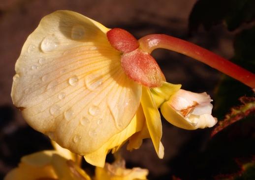 Dew Drop Flower by Clarabinks