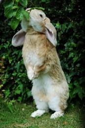 Naughty rabbit