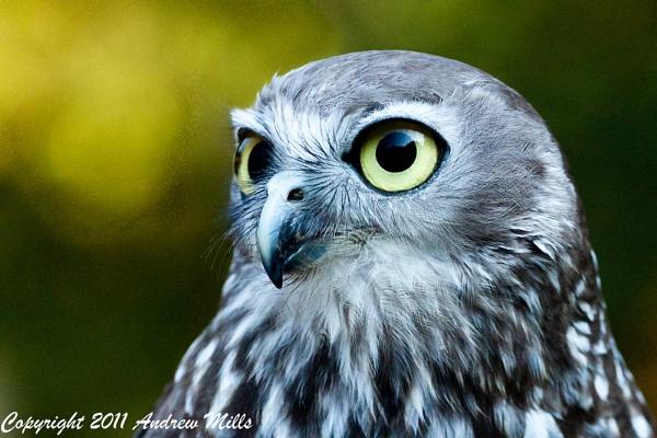 Owl II by dvdrew