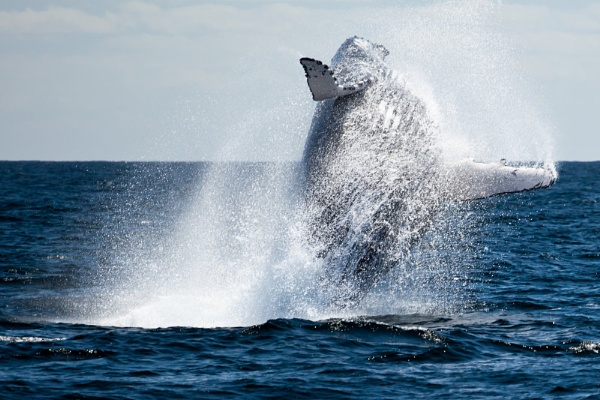 Humpback Whale by dvdrew