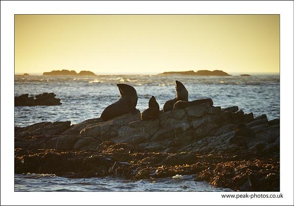 kaikoura seals by richardwheel