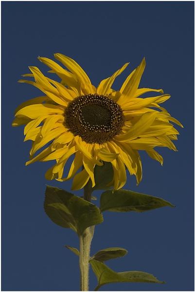 Sunflower by bfgstew