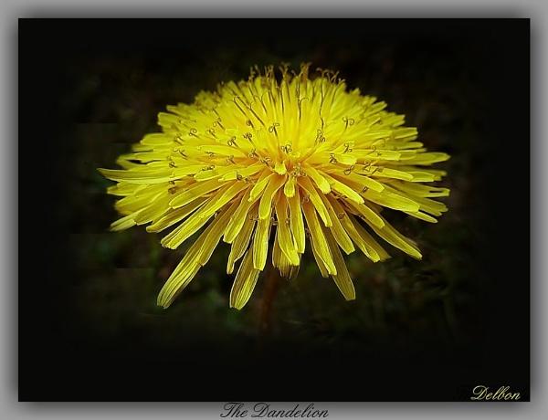 The Dandelion by Delbon