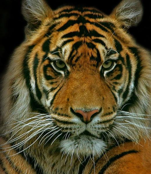 tiger by STEVELIN