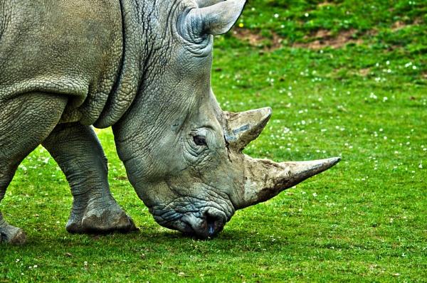 Rhino by Wallybazoom