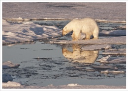 Polar Bear reflection