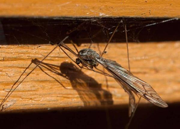 flying daddy long legs by HuntedDragon