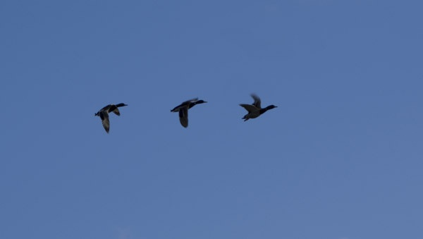 Ducks in Flight by telstar500