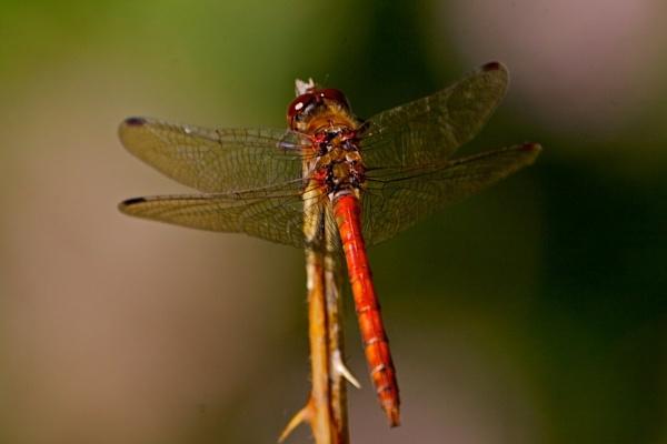 dragon fly by phil19belfield