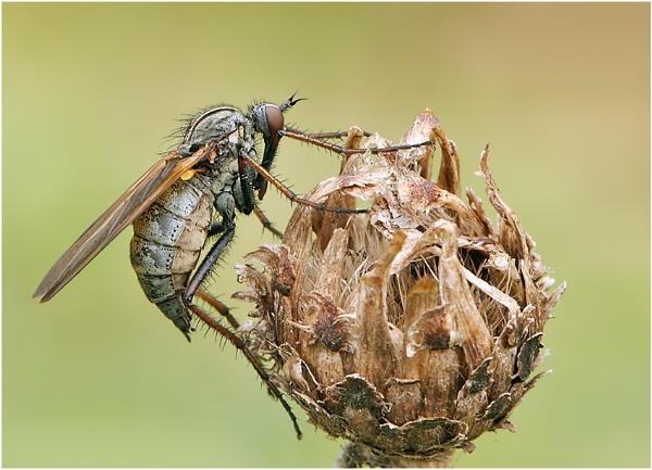 Empid Fly by NigelKiteley