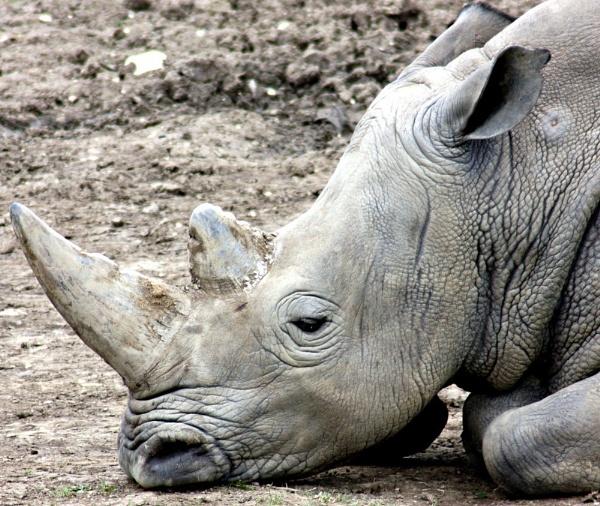 Sleepy rino by billkouk