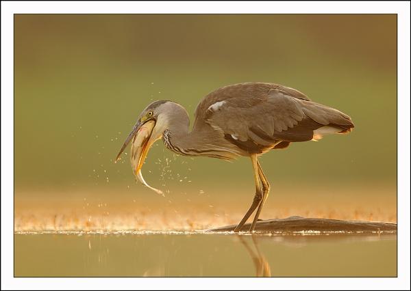 Grey Heron by Brian_Scott