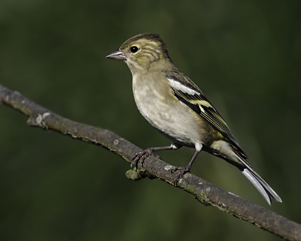 YOUNG  FEMALE  CHAFFINCH by jeb2012