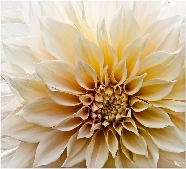 Dahlia III by AnnChown