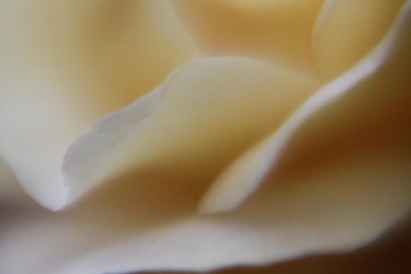 Soft Rose by Glen-W