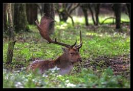 A Fallow deer's rest