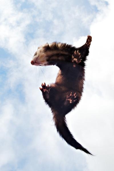 Flying Ferret by FP4
