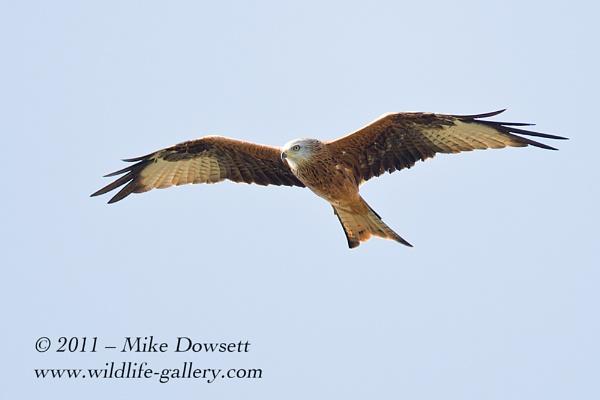 Raptor Red Kite by MikeDowsett