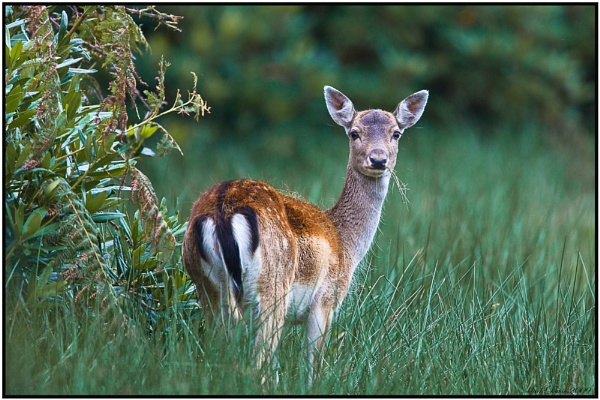 Deer,  What,s Up ... by MD2009