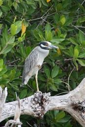 Yukatan Heron