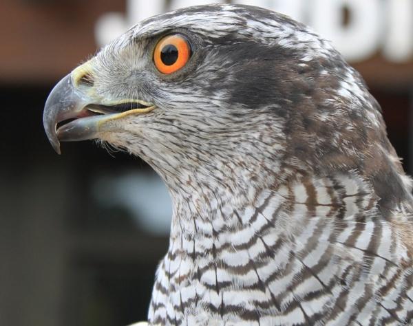 Eye of A Hawk by TJC63