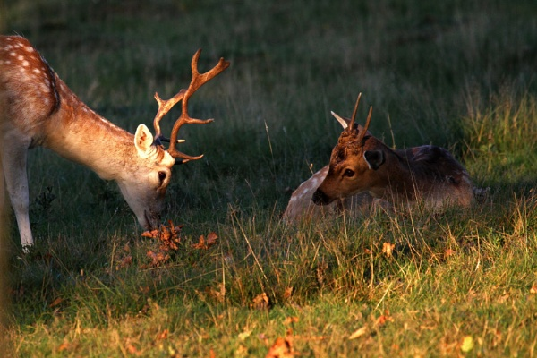 Fallow deer couple by czech