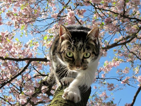 Jambo the cat in a cherry tree by HelenaJ