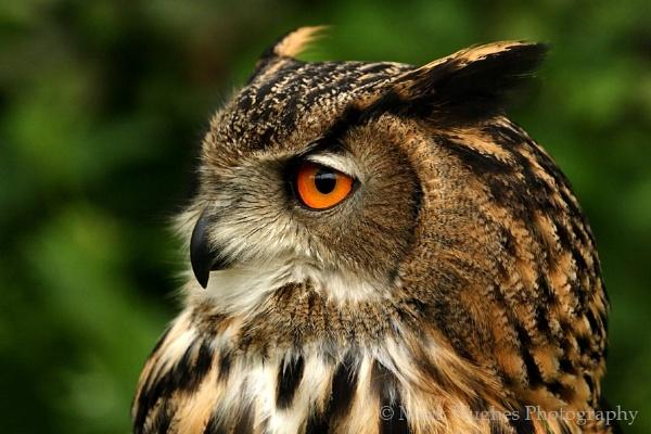 Eagle Owl Profile by MarkHughes