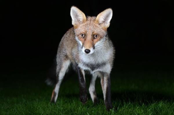 Foxy visitor. by sferguk