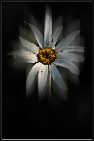 Ghost Daisy by Morpyre