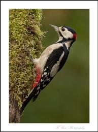 October Woodpecker
