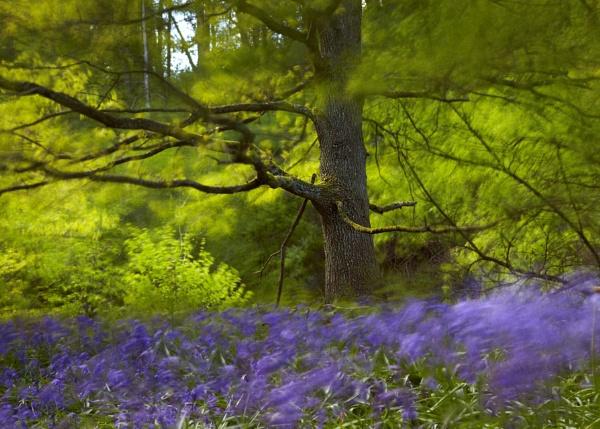 Bluebell Blur by richardwheel