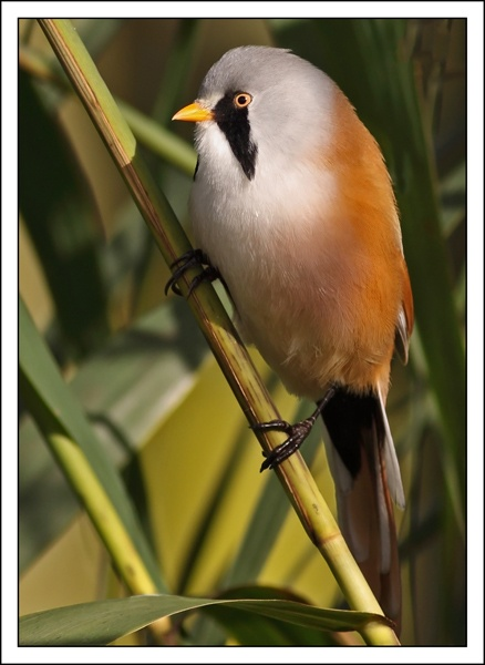 Bearded Tit by fatmod