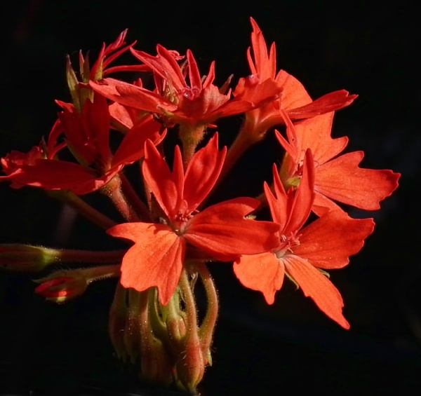 Pelargonium by Flyfisher