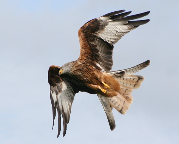 Red Kite by tigertot