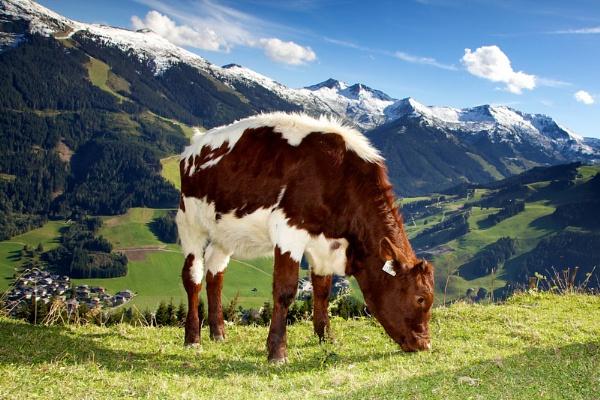Austrian Cow by bridge99