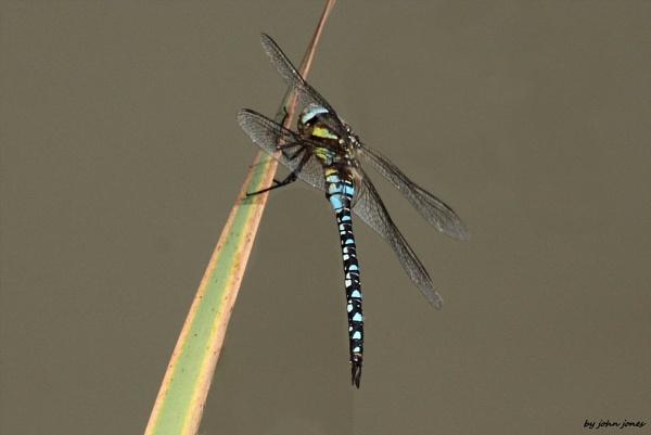 dragonfly by johnjones