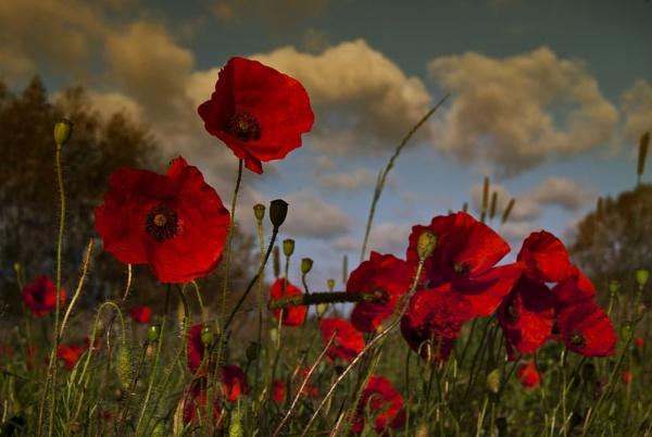 Poppy field 2 by Audran