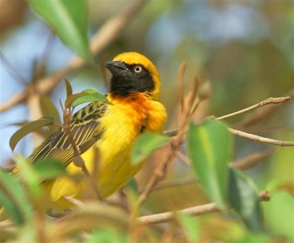 Weaver bird by sarniebill2
