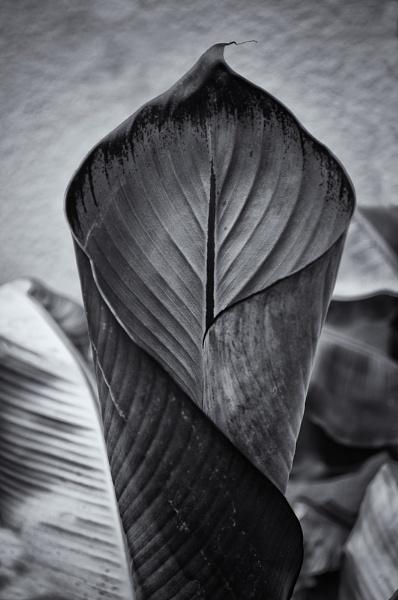 Banana leaf by chavender