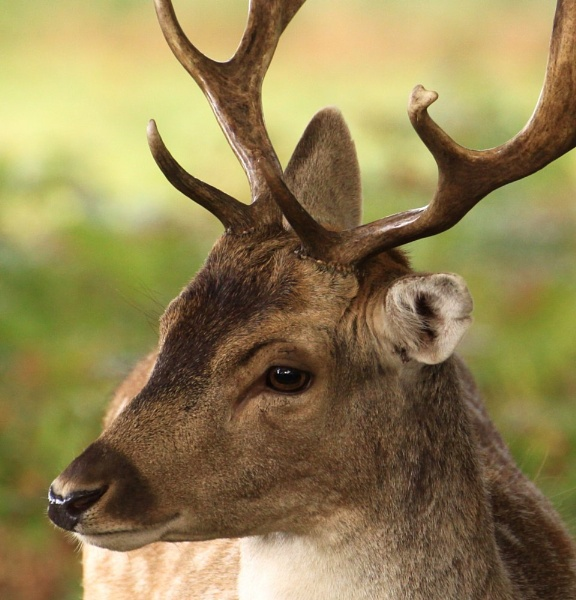handsome young buck by hotwings
